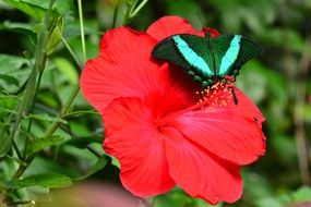 emerald swallowtail on the red flower