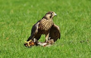 falcon with prey in the wildpark poing