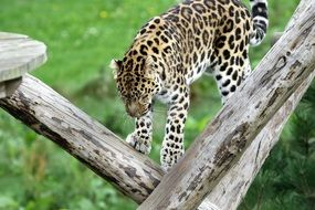 Leopard Spotted Cat