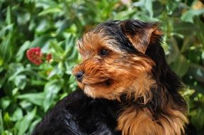 portrait of yorkshire terrier among nature
