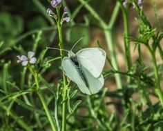 cabbage butterfly white insect nature