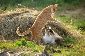 two cats playing outdoor
