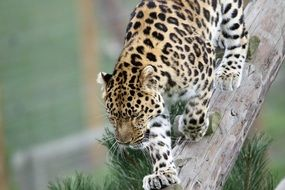 leopard is a large cat in the wild