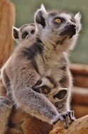 Picture of the lemur family in the zoo