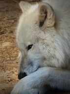 white wolf close up
