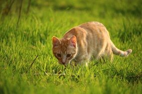 foraging young red cat