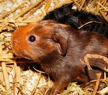 pretty brown Guinea Pig