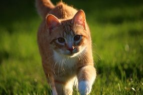 young red tabby cat