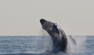 jumping humpback whale in wildlife