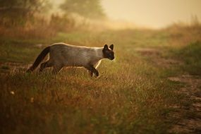 siamese cat walking in the evening