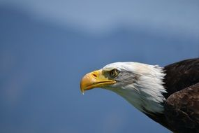 profile portrait of a white tailed eagle