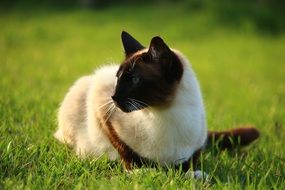 siamese cat sitting on the meadow