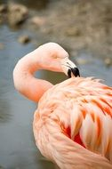 pink flamingo cleans feathers at the zoo