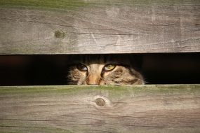 spying domestic cat