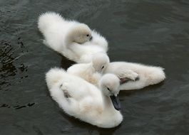 young fluffy swans on the water