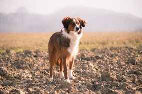 red dog on an arable field