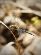 blue dragonfly on a dry blade of grass close-up