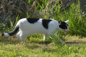white Cat with black spots walking outdoor