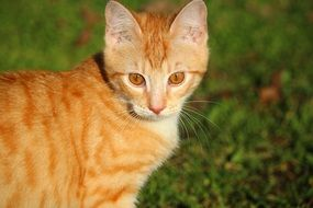 young curious red cat