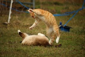 Siamese and Red Cats playing outdoor