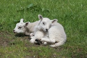 lambs on the grass