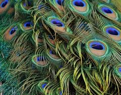 Peacock bright Feathers