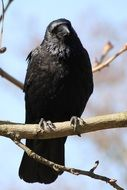 black Raven is sitting on a branch