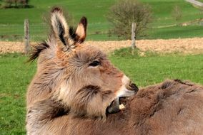 Donkey opened mouth Domestic