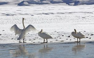 cute lovely Trumpeter Swans