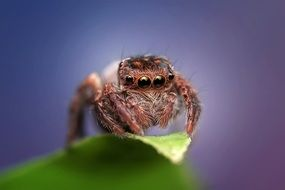 closeup of a jumping spider