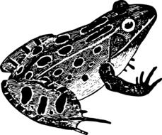 black and white painted frog