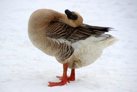 domestic goose in winter