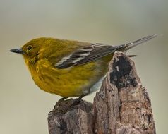 Pine warbler on the tree