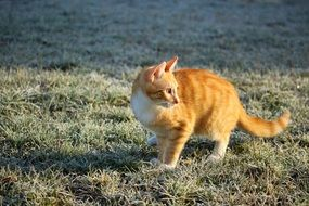 young red cat walking on frosted meadow