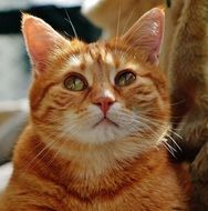 charming red domestic cat