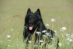 purebred belgian shepherd, black dog on meadow