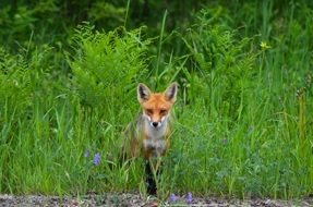 foraging red fox in Canada