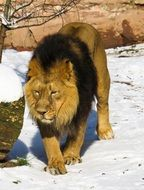majestic lion in the nuremberg zoo