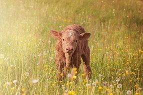 brown calf in the meadow