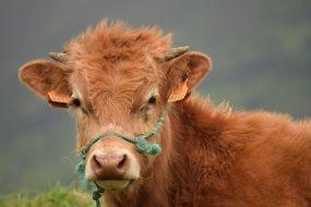 brown calf in bridle close up