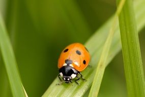 picture of the ladybug in nature