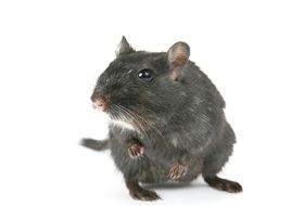 grey hamster on the white background