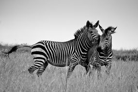 black and white photo of zebras on the grass