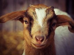 portrait of domestic goat