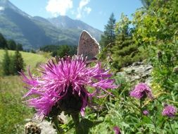 butterfly on a purple flower of a thistle in the mountains