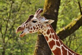 giraffe with opened mouth