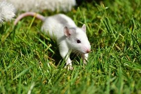 Grey-White Baby Rat on lawn
