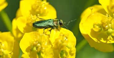 green beetle on the yellow flower