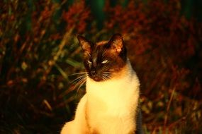 Siamese cat in nature
