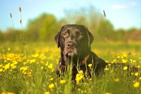 Labrador on the meadow
